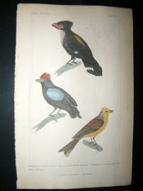 Cuvier C1835 Antique Hand Col Bird Print. Yellow Bunting etc, 22